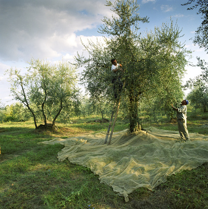Olive pickers Tuscany