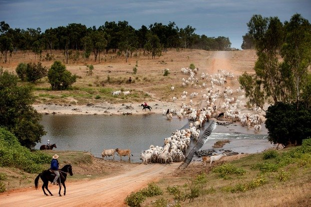 Cattle Crossing, Wrotham Park, Australia